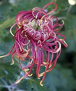japanese Chrysanthemumok